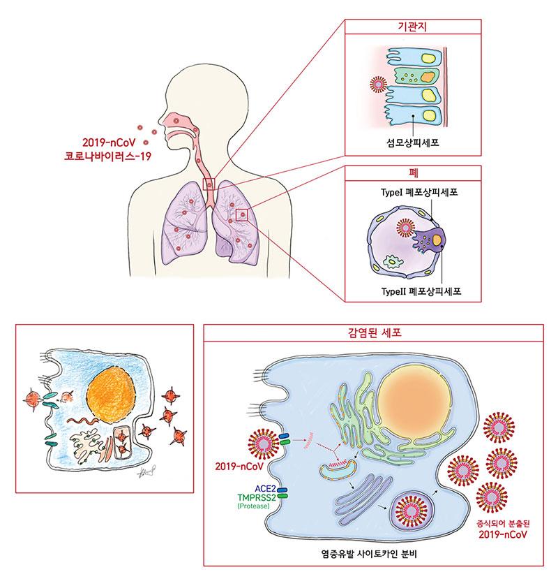 2019-nCoV의 세포 침투경로 및 증식확산 메커니즘. 2019-nCoV는 섬모상피세포나 TypeⅡ 폐포상피세포를 숙주로 삼는다. 이 세포들에는 2019-nCoV가 잘 달라붙게 만드는 효소수용체(ACE2, TMPRSS2)가 다량으로 존재해 바이러스의 침투능력을 강화한다. 이후 2019-nCov는 침투한 세포의 자원과 시스템을 탈취하여 증식하고, 감염된 세포 밖으로 분출된다.