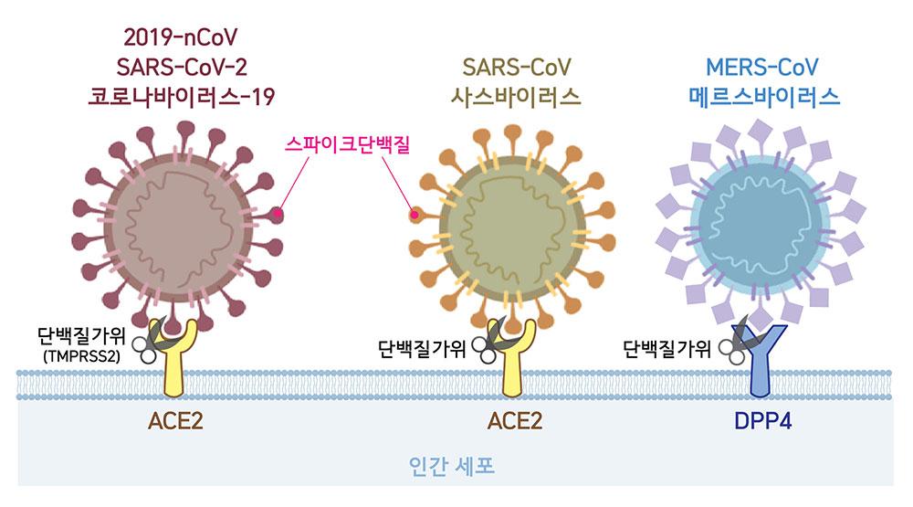 세포 속으로 침투하기 위한 첫 단계로 코로나바이러스는 표면에 위치한 스파이크단백질을 이용해 숙주세포의 수용체와 결합한다. 2019-nCoV와 사스바이러스는 ACE2를, 메르스바이러스는 DPP4를 수용체로 활용한다. 바이러스가 숙주세포와 결합하면 단백질가위(2019-nCoV의 경우 TMPRSS2)가 스파이크단백질의 일부분을 자르고, 비로소 바이러스가 세포 내로 침투한다.