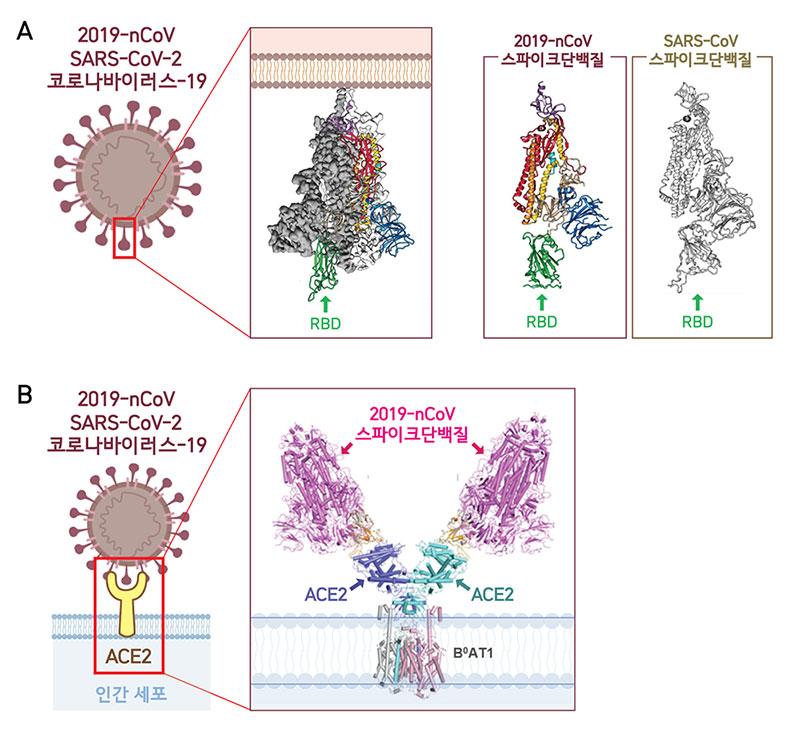 극저온전자현미경(Cryo-EM)을 통해 2019-nCoV의 3차원 분자구조를 분석한 결과 스파이크단백질 3개가 모여 하나의 덩어리를 이룬 모습이 드러났다. 2019-nCoV와 사스바이러스의 스파이크단백질 구조가 매우 유사함을 확인할 수 있다(A). RBD(Receptor-Binding Domain)는 ACE2 수용체와 결합하는 부분으로, 2019-nCoV가 가진 3개의 RBD 중 하나의 RBD만 세포 표면의 ACE2와 처음 결합하는데 활용된다(B). 바이러스는 RBD를 위‧아래로 자유롭게 움직이며 세포와의 결합력을 높인다.(Wrapp et al., 2020, Yan et al., 2020)