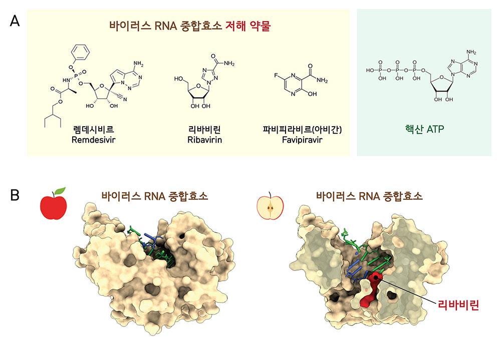 바이러스 RNA 중합효소를 저해하는 약물(A)들은 구조가 핵산 ATP와 유사하여 바이러스 RNA 중합효소에 의한 RNA 합성을 봉쇄한다. B는 수족구 바이러스 RNA 중합효소와 치료제 리바비린 복합체의 구조(PUB 1D 2E9R, 왼쪽)와 단면(오른쪽)의 모습을 보여준다. [Ferrer-Orta et al., 2007]