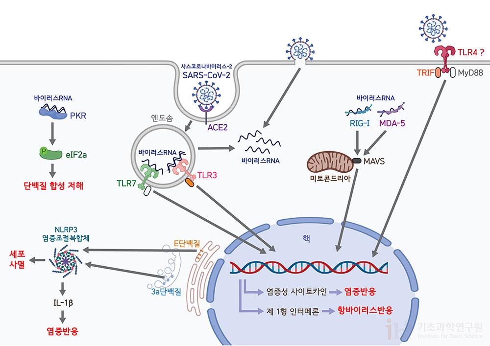 코로나바이러스의 침입은 선천면역세포의 유형인식수용체에 의해 인지된다. 이 수용체들은 세포 외부 혹은 세포 내부에 위치하며 바이러스의 특징적인 분자유형을 인식하고, 세포 내 신호전달 체계를 이용해 염증성 사이토카인 및 제1형 인터페론 등의 생성을 촉진하여 항바이러스 반응을 유도한다. [그림: 정희은(biorender)]