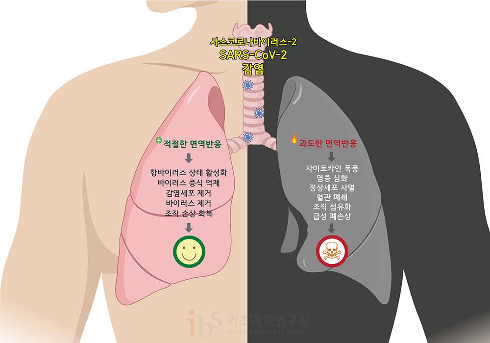 면역반응은 양날의 검이다. 적절한 면역 반응은 바이러스의 증식을 억제하고 바이러스에 감염된 세포를 제거하는 등 이롭게 작용하지만, 과도해지면 오히려 사이토카인 폭풍을 일으키고 정상세포에도 피해를 주어 조직 손상 및 심한 경우 사망에까지 이를 수 있다. [그림: 정희은(biorender)]