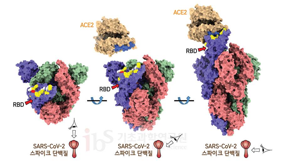 사스코로나바이러스-2 스파이크단백질에서 ACE2가 결합하는 부위를 보면 상당 부분이 천산갑 코로나바이러스와 같은 서열을 갖는 반면, 박쥐 코로나바이러스와는 다른 서열을 갖고 있다(노란색). 흰색은 스파이크단백질에서 ACE2와 결합하는 부위 중 사스코로나바이러스-2, 천산갑 코로나바이러스, 박쥐 코로나바이러스 모두 같은 서열을 갖는 곳이다, 파란색은 ACE2에서 코로나바이러스 스파이크단백질 RBD와 결합하는 부분이다.