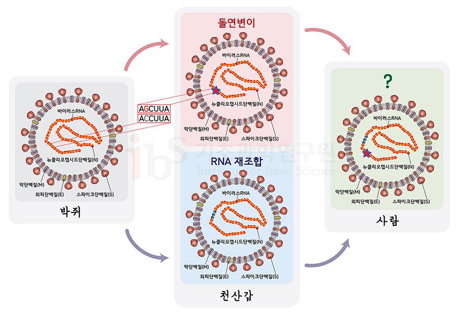 박쥐에서 천산갑으로 옮겨간 바이러스가 돌연변이(그림은 C 염기서열이 G로 변한 것으로 가정)나 RNA 재조합(빨간색이 파란색으로 바뀐 부분이 재조합으로 획득한 RNA부위임을 가정한 예시) 등을 통해 전파력이 강해진 것으로 추정된다.