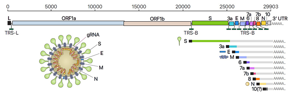 Figure 2 Composition of genomic and subgenomic RNAs of SARS-CoV-2, and schematic diagram of virus particle structure