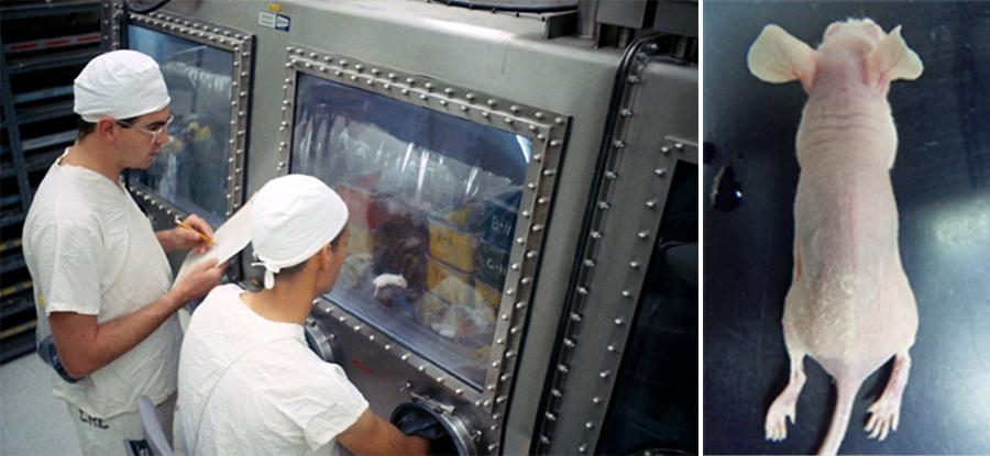 (오른쪽) Corynebacterium bovis에 감염된 누드마우스. 피부에 황색 가피가 형성되어 병리학적으로 각화 항진증과 피부염이 보인다. (출처: 필자의 사진)
