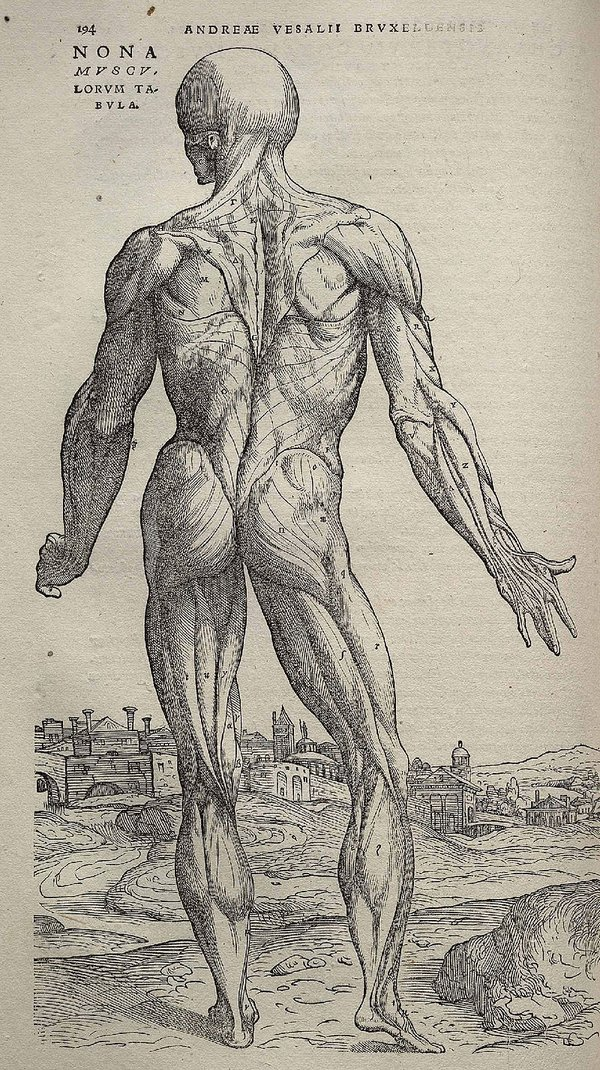 베살리우스의 <인체의 구조(Fabrica)>에 실린 신체의 모습. 그의 해부학 업적은 근대 의학의 기원이 되었다. (출처 : Wikimedia Commons)