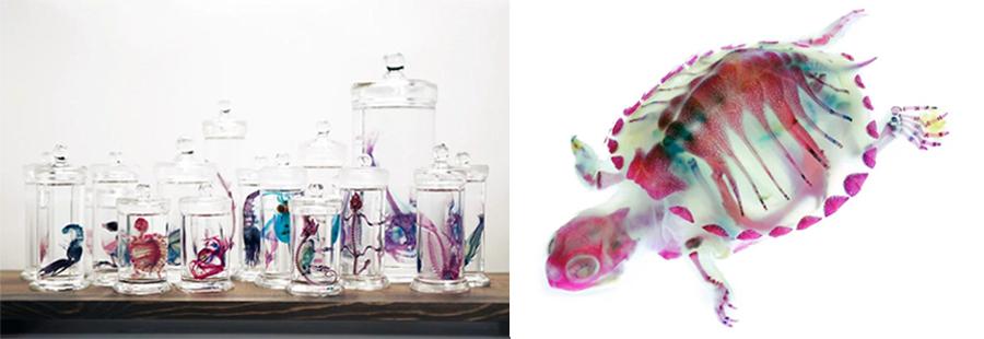 토미타 이오리가 만든 투명 표본의 모습. (출처 : Iori Tomita)