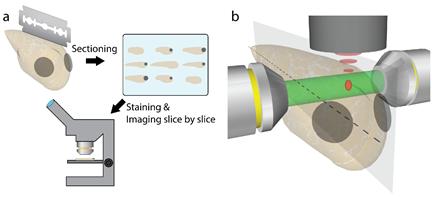기존의 현미경(왼쪽)에서는 제브라피시 내부를 관찰하기 위해서 불쌍한 제브라피시를 얇게 잘라야 했다. 공간 게이팅 현미경(오른쪽)을 사용하면 살아있는 제브라피시를 바로 관찰할 수도 있다. (출처 : IBS)