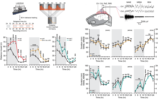 Figure 2. Deletion of PTPδ in mice leads to hyperactivity and decreased non-REM sleep.
