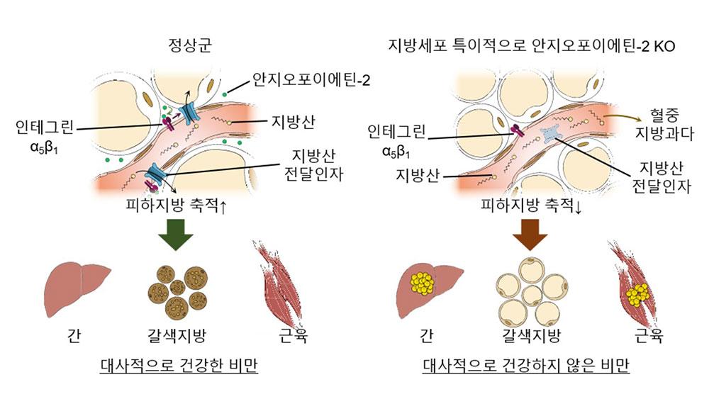 피하지방 내 모세혈관의 지방산 전달 기능과 이에 따른 대사질환과의 연관성을 나타낸 모식도