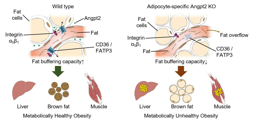 Figure 2 Endothelial-to-adipocyte fatty acid transport determines metabolic health.