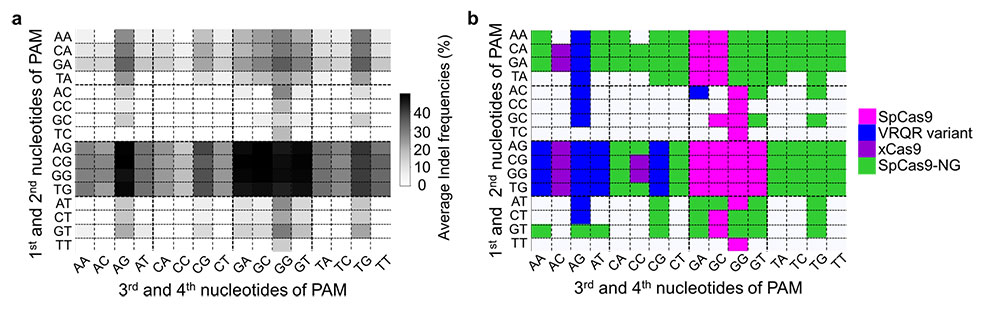 Figure 2 PAM compatibilities for SpCas9 variants. (a) Darker colors indicates higher frequency of DNA cleavage. (b) Among these four variants (SpCas9, VRQR, xCas9 and SpCas9-NG), SpCas9-NG has been the traditional choice for all PAM sequences that have a guanine (G) as the second nucleotide. However, these results shows that for PAM sequences AGAG and GGCG, for example, the Cas9 variant VRQR (in blue) would be preferable.