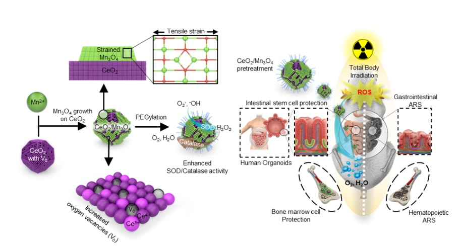 Figure 1. Schematic illustration of highly catalytic CeO2/Mn3O4 nanocrystals preventing acute radiation syndrome.