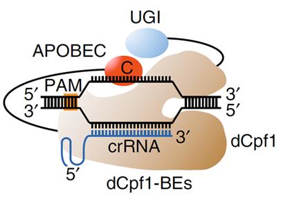 그림 1. Cpf1 염기 교정 유전자 가위의 개념 및 작동 원리