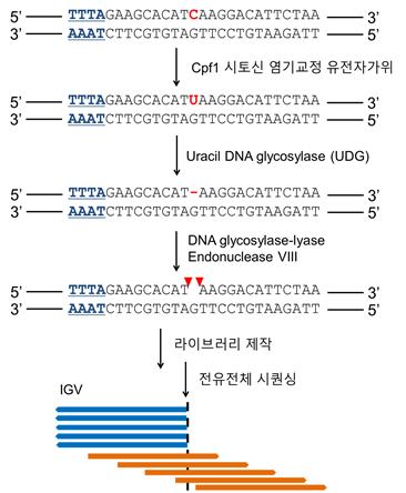 그림 2. Cpf1 시토신 염기교정 유전자가위 절단 유전체 시퀀싱 기법 적용 과정
