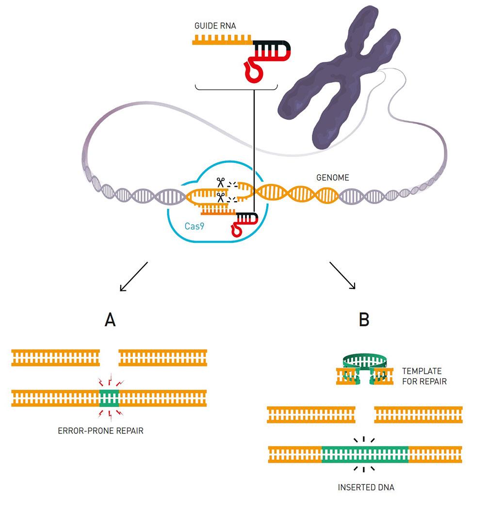 ▲ 유전자가위를 이용해 유전자를 교정하려면, 우선 가이드RNA를 합성해야 한다. 가이드RNA는 상보적인 염기서열을 지닌 표적을 찾아내는 역할을 하고, 이후 Cas9과 결합하여 표적 부위를 절단한다. 절단된 부위는 스스로 복구(A)되거나 원하는 다른 DNA를 삽입(B)해 교정할 수 있다. (출처: 노벨상위원회)
