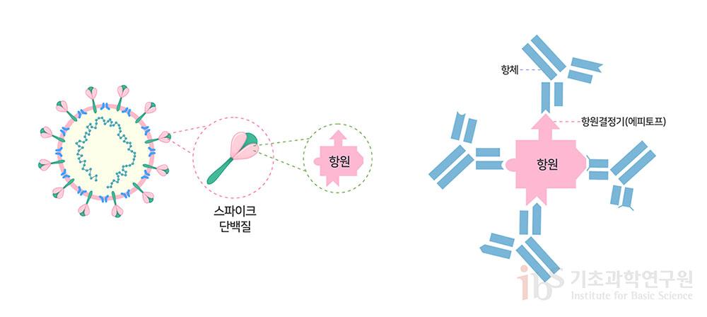 그림 1. 코로나19 바이러스 백신은 인체 면역계가 바이러스의 스파이크 항원을 인식하는 중화 항체를 생성하도록 설계된다. 스파이크 단백질 항원의 다양한 항원결정기에 대하여 각각 특이적인 다클론성 항체가 생성된다.