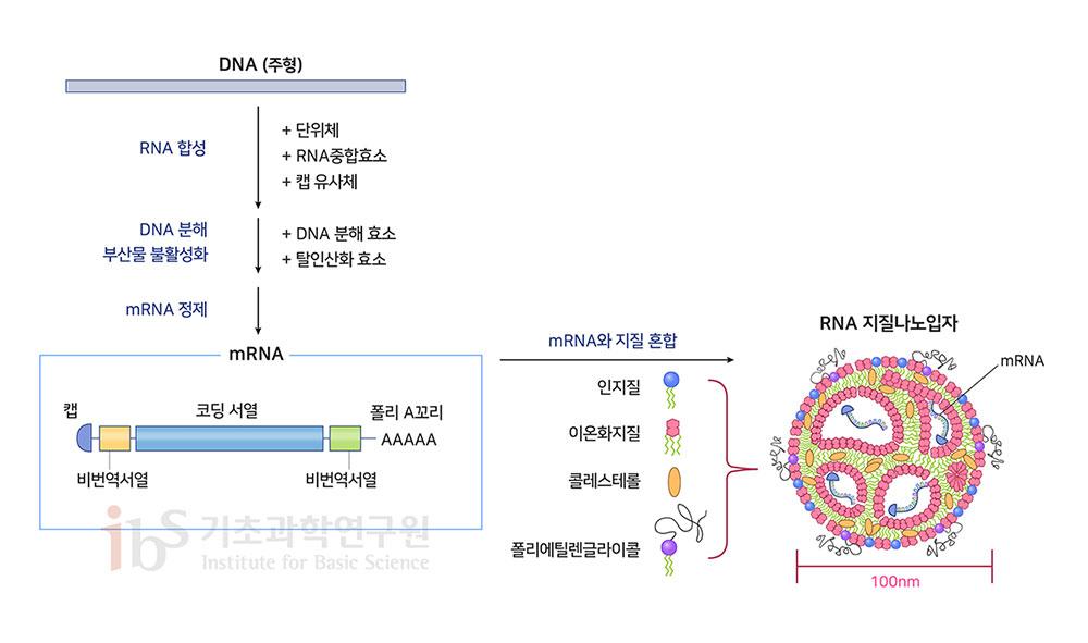 그림3. mRNA 백신의 구조와 제조 방법. mRNA는 단백질의 정보를 담은 코딩서열, 단백질 생산을 돕는 비번역서열, mRNA가 파괴되지 않도록 막는 캡 그리고 mRNA를 안정적으로 유지하는 폴리A꼬리로 구성된다. RNA를 세포 내로 전달하기 위해 지질과 폴리에틸렌글라이콜 등을 섞어서 나노입자를 만든다. [Verbeke et al., 2019; Linares-Fernández et al., 2019]