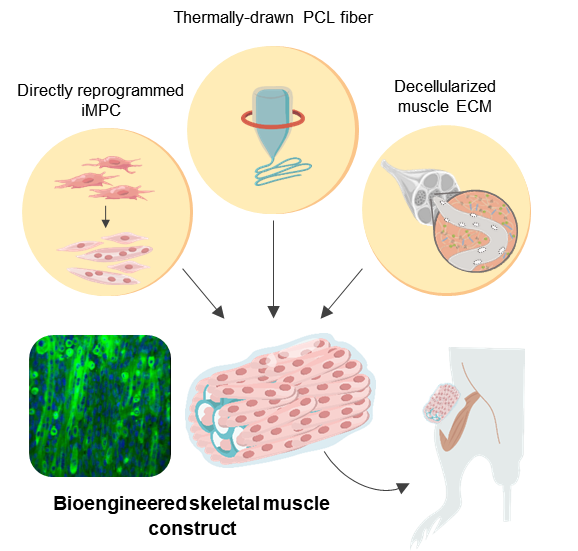 Figure 1. Schematic illustration of the 3D skeletal muscle-like bioengineered constructs