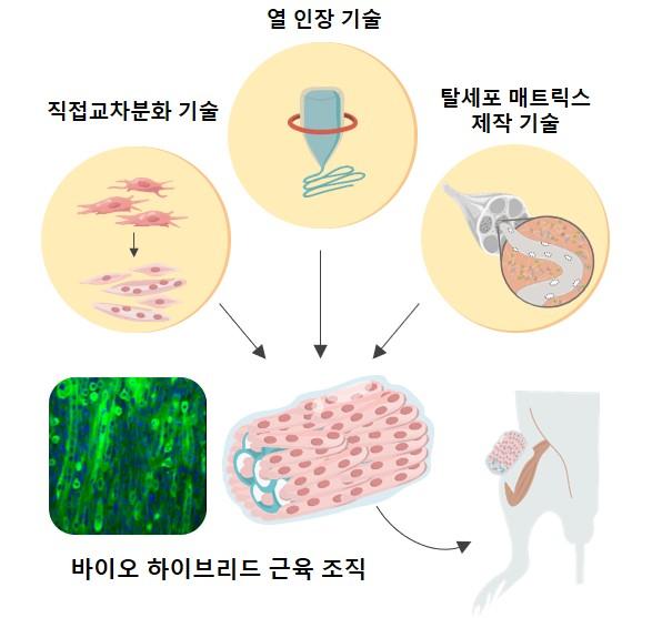 연구진이 개발한 인공 근육 조직 개발 및 생체 적용 모식도