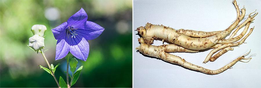 도라지 꽃(왼쪽)과 뿌리. 도라지는 초롱꽃과 도라지 속에 속하는 여러 해살이 풀로 길경으로도 불린다. (출처: 위키피디아)
