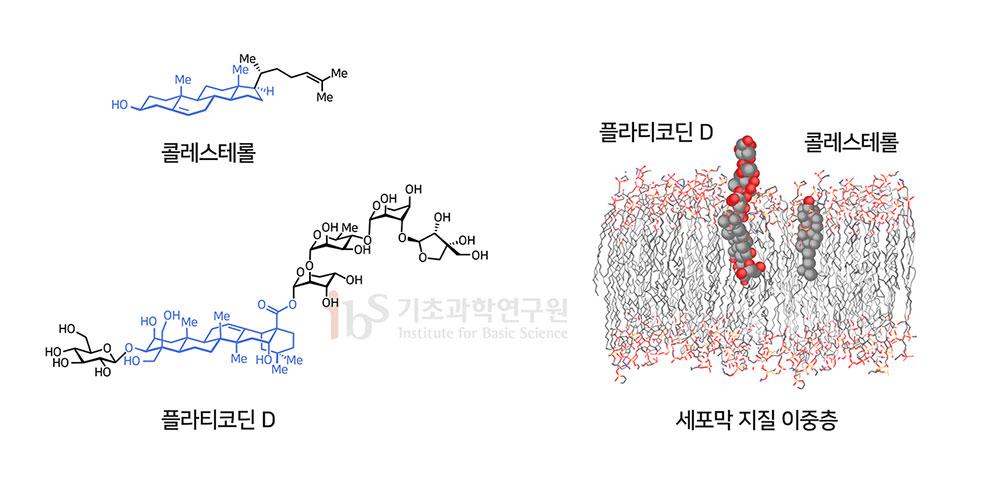 플라티코딘 D가 효과적으로 바이러스의 세포 침입을 차단할 수 있는 주요 요인은 세포막의 주요 구성물질은 콜레스테롤과 유사한 구조를 가졌기 때문이다(왼쪽). 오른쪽은 플라티코딘 D의 세포막 상에서의 위치를 예측한 모델링.