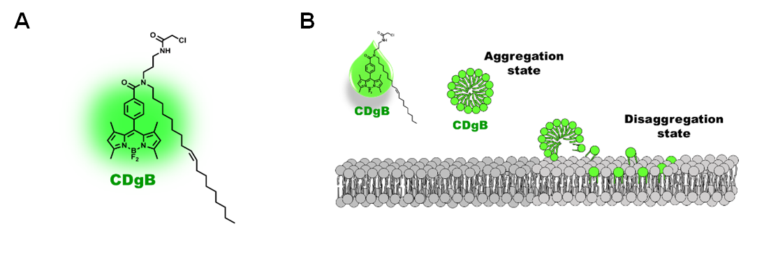 Figure 2. A) Structure of CDgB molecule. B) Free unbound CDgB forms aggregates in solution, which dissociates when they bind to lipid membranes.