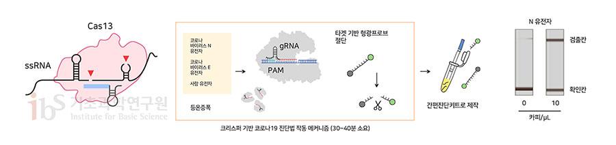 크리스퍼 기반 코로나19 진단법의 작동 메커니즘. 사스코로나바이러스-2의 유전물질을 타깃하는 크리스퍼 단백질이 해당 부위를 정확하게 잘라내면 형광이 발현되는 원리다. 형광색을 통해 코로나19 감염 여부를 진단할 수 있다.