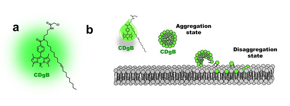CDgB는 탄소 분자가 길게 연결된 '탄소 꼬리'를 가지고 있다(a). 소수성인 CDgB는 수성 매체에서 100nm 이하 크기의 나노응집체를 형성하는데, 이 응집체가 세포막에 융합되어 B세포와 결합하면 형광이 켜진다.