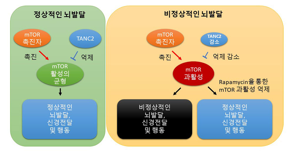 그림 1. TANC2에 의한 mTOR 신호전달체계의 균형 유지 모식도