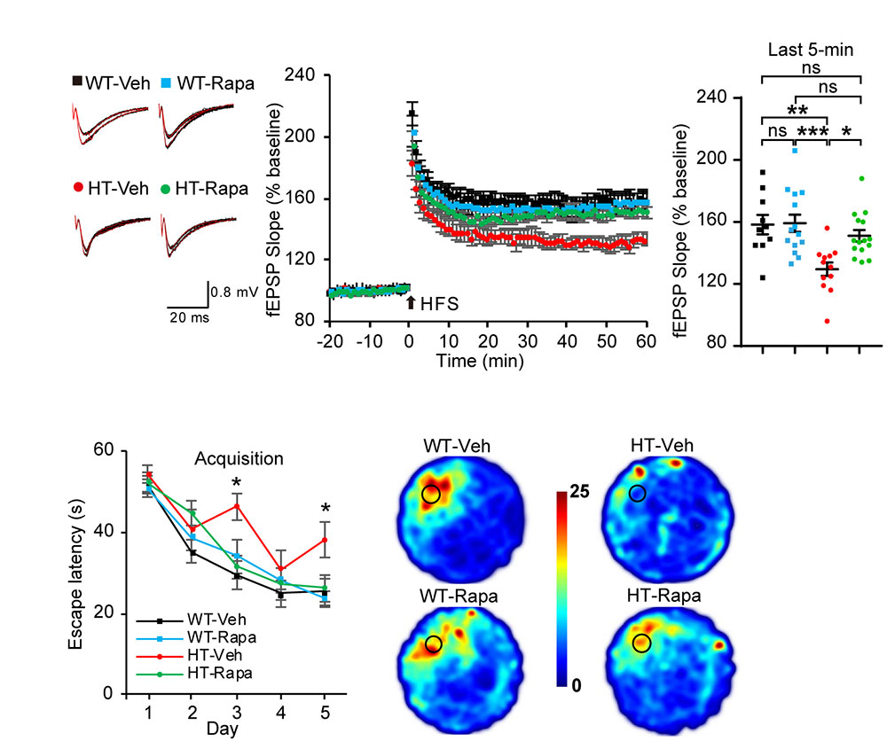 그림 3. TANC2 결손에 의한 신경전달의 변화와 기억 및 학습 능력의 감소가 mTOR 저해제인 Rapamycin에 의해서 정상으로 회복됨