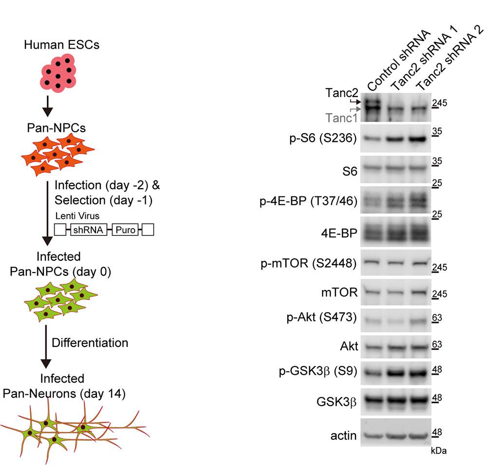 그림 4. 인간 줄기세포 유래 신경세포에서 TANC2의 발현을 감소시켰을 때 mTOR 신호전달체계의 과활성이 나타남