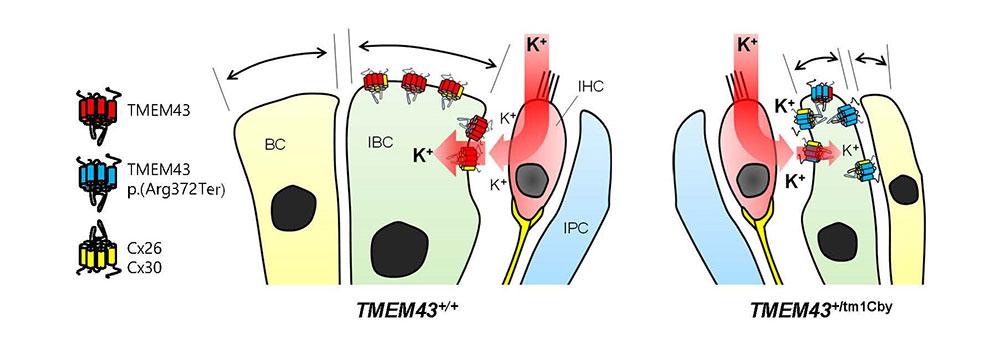 [그림 3] TMEM43 p.Arg372Ter 의 분자적 메커니즘 모식도