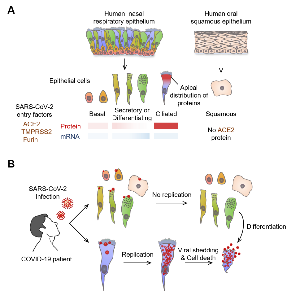 Figure 3. Multiciliated epithelial cells are the main site for SARS-CoV-2 replication and shedding in nasal respiratory epithelium