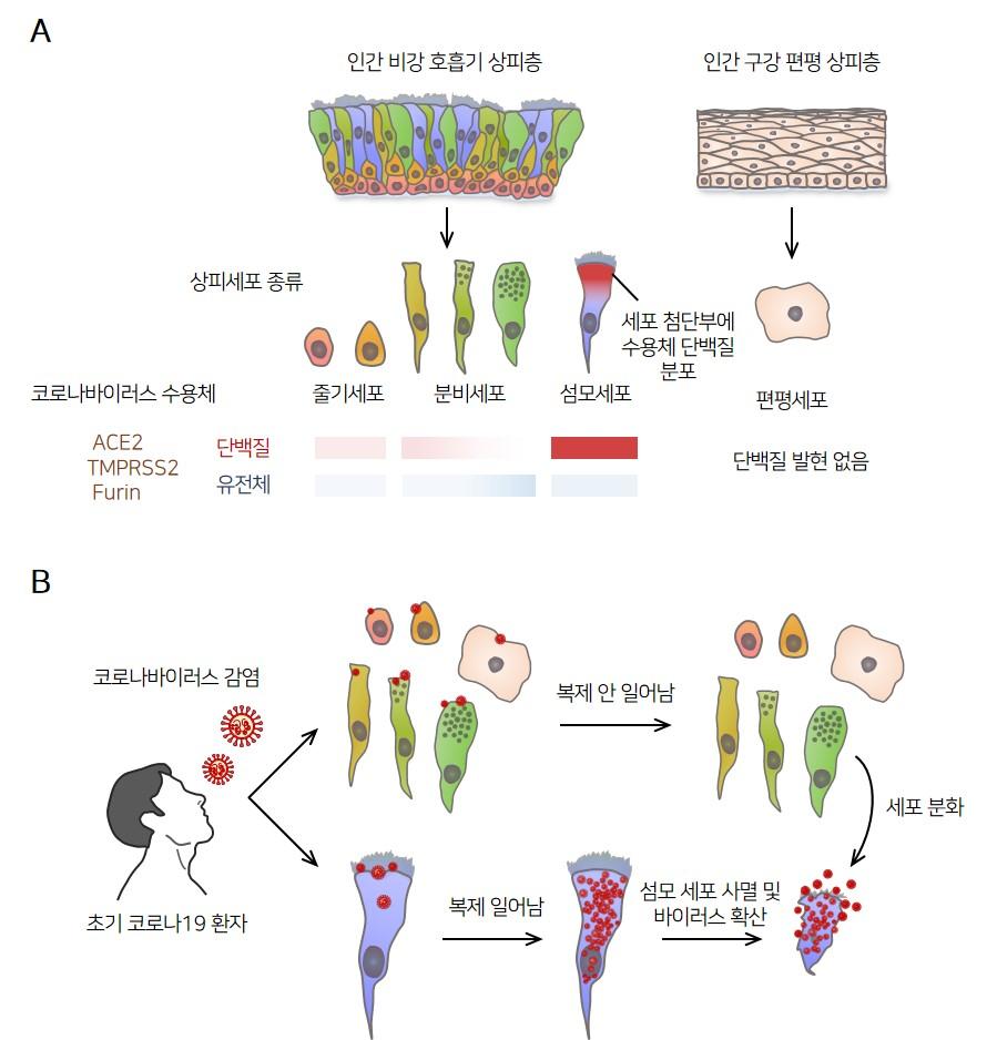 사스코로나바이러스-2의 비강 섬모상피세포 감염 기전