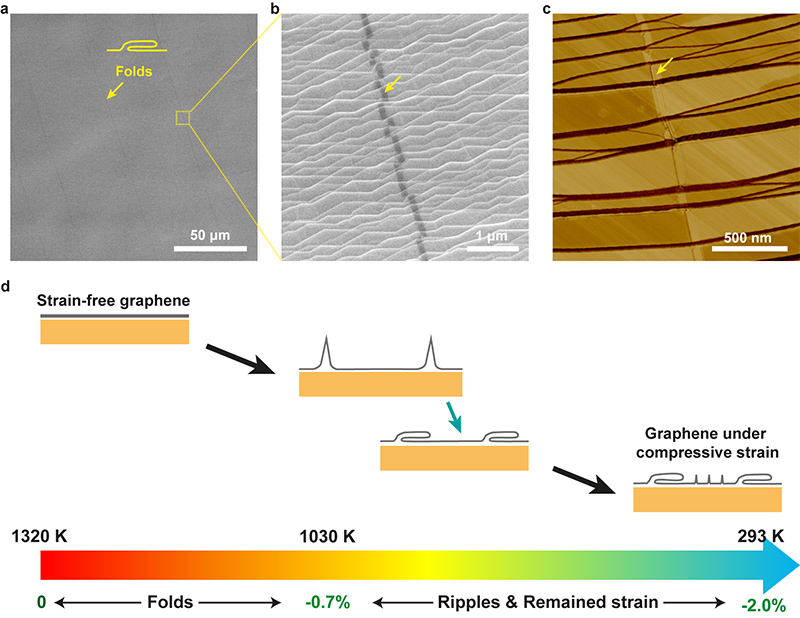 Figure 1. (a, b) SEM images and (c) AFM phase image of graphene folds in an adlayer-free single-crystal graphene film on a Cu(111) foil. (d) Schematic of the mechanism of graphene folds formation during the cooling process.