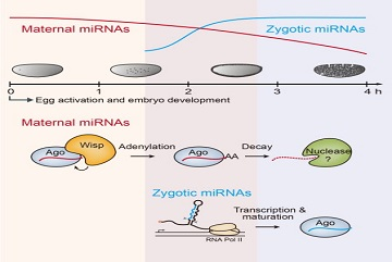 Regulation of maternal miRNAs in early embryos revealed
